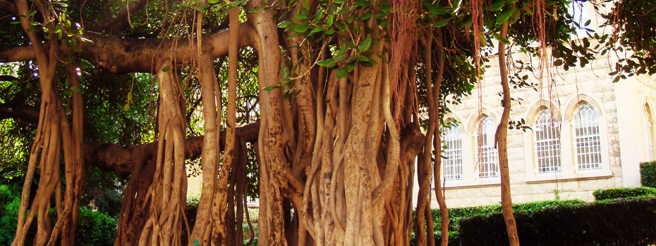 LAU's Banyan Tree, a witness of time and generations